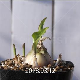 ドリミオプシス マキュラータ  LAV30689 子株 2749