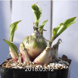 ドリミオプシス マキュラータ  LAV30689 子株 2763