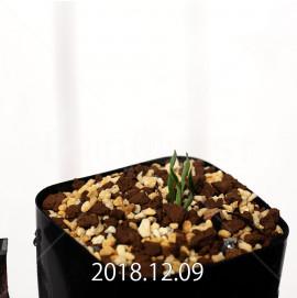 カマイスキラ スピラリス 実生 4983