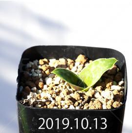 ラケナリア クリプランデンシス 実生 7851