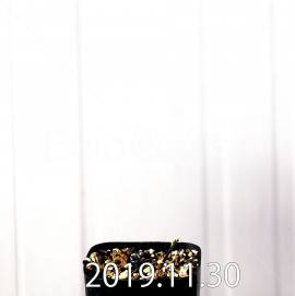 ゲイソリザ コンフューサ EQ463 実生 8441