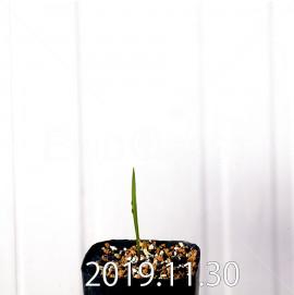ゲイソリザ コンフューサ EQ463 実生 8442