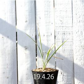 Yucca リギダ EQ493 実生 8775