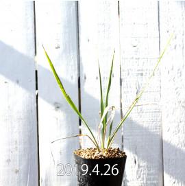 Yucca リギダ EQ493 実生 8776