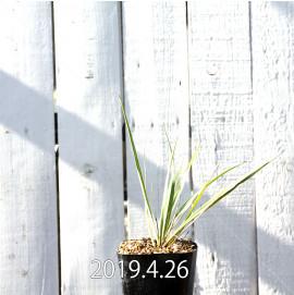 Yucca リギダ EQ493 実生 8780