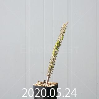 ラケナリア ラティメラエ 実生 10340