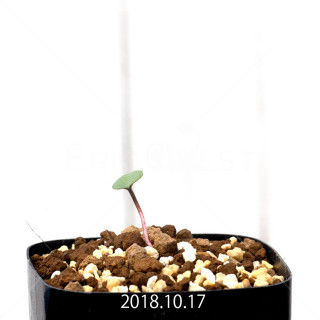 エリオスペルマム カペンセ 実生 11128