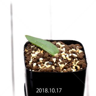 ラケナリア ネルボーサ JAA1448 実生 11276