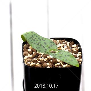ラケナリア ネルボーサ JAA1448 実生 11294