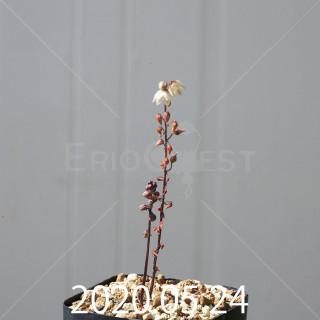 ドリミア プラティフィラ EQ395 12046