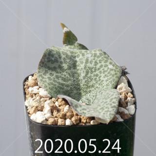 レスノヴァ メガフィラ 実生 14003