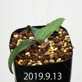 レデボウリア オヴァティフローラ スカブリダ変種 実生 14933