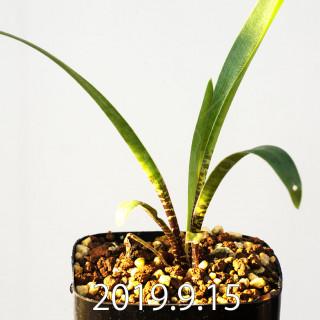 レデボウリア レボルタ EQ780 実生 15071