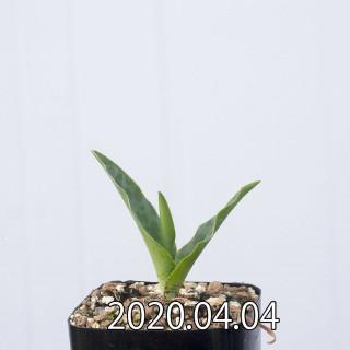レデボウリア レボルタ EQ780 実生 15074