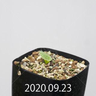 エリオスペルマム アペンデクラツム EQ807 実生 15753
