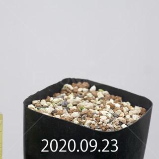 エリオスペルマム アペンデクラツム EQ807 実生 15761