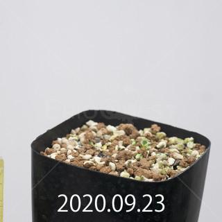 エリオスペルマム アペンデクラツム EQ807 実生 15771