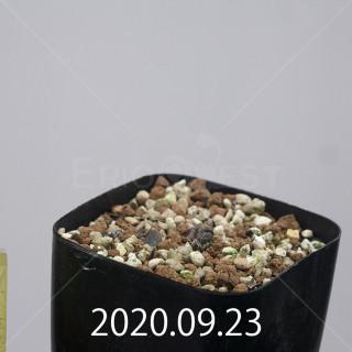 エリオスペルマム アペンデクラツム EQ807 実生 15791