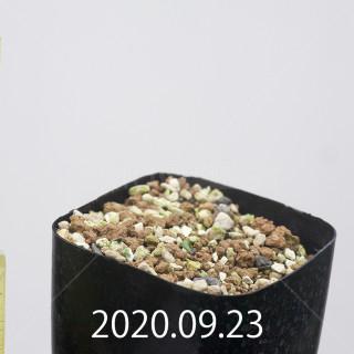 エリオスペルマム アペンデクラツム EQ807 実生 15799