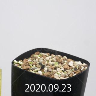 エリオスペルマム アペンデクラツム EQ807 実生 15819