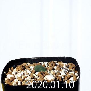 エリオスペルマム エリヌム EQ808 実生 16071
