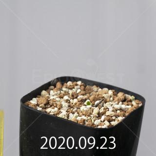エリオスペルマム アペンデクラツム EQ807 実生 16098