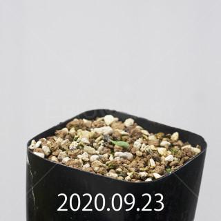 エリオスペルマム アペンデクラツム EQ807 実生 16103