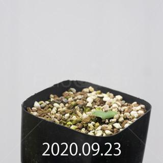 エリオスペルマム アペンデクラツム EQ807 実生 16111