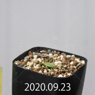 エリオスペルマム アペンデクラツム EQ807 実生 16149