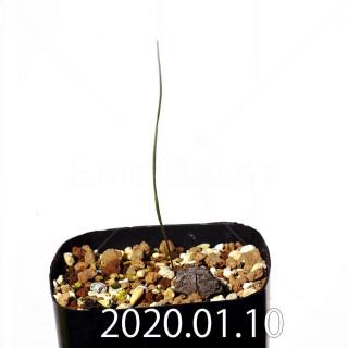 ラペイロージア シレノイデス EQ706 実生 17252