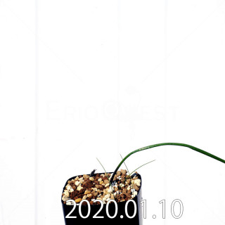 ラケナリア ウニフォリア ウニフォリア変種 実生 17495