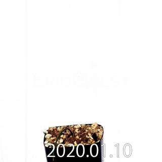 ラケナリア ウニフォリア ウニフォリア変種 実生 17518