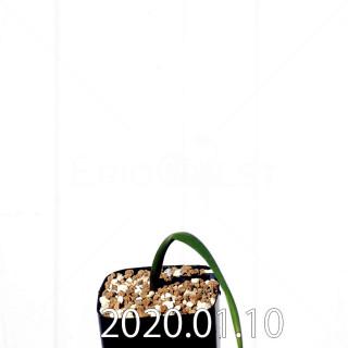 ラケナリア ウニフォリア ウニフォリア変種 実生 17520