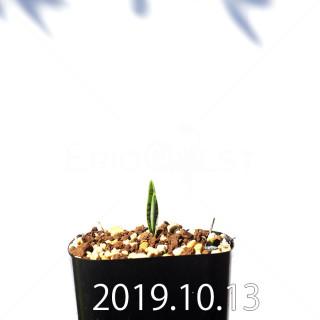 ラケナリア アロイデス クアドリカラー変種 実生 17600