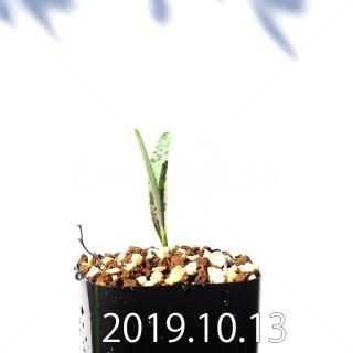 ラケナリア アロイデス クアドリカラー変種 実生 17604