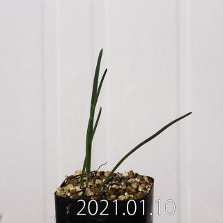 ラケナリア アロイデス クアドリカラー変種 実生 17616