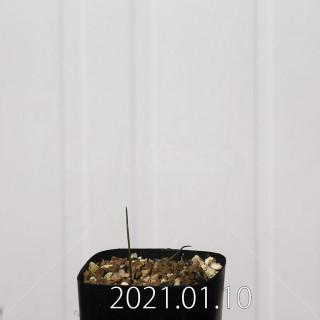 ラケナリア アロイデス クアドリカラー変種 実生 17634