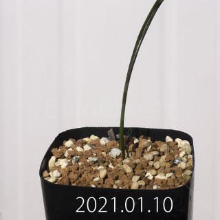 ラケナリア コリンボーサ EQ453 子株 17893