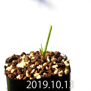 ラケナリア コリンボーサ EQ453 子株 17902
