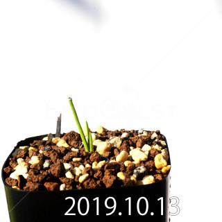 ラケナリア コリンボーサ EQ453 子株 17905