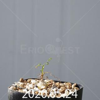 オーニソガラム トルツオスム DMC13646 子株 19972