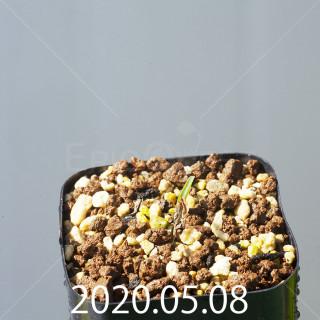 レデボウリア sp. JAA1038 実生 20558