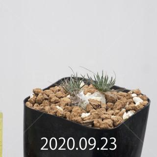 オーニソガラム サルディエニー ES16055 子株 20763
