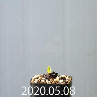 レデボウリア コンカラー DMC10146 子株 20868