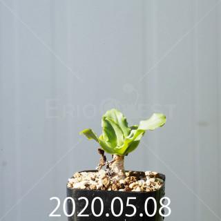 レデボウリア コンカラー DMC10146 子株 20870