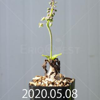 レデボウリア コンカラー DMC10146 子株 20879