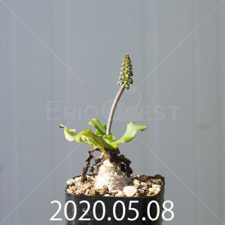 レデボウリア コンカラー DMC10146 子株 20890