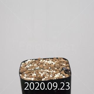 ドリミア イントリカータ ES21689 実生 21222