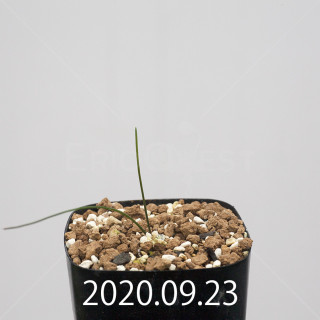 ドリミア イントリカータ ES21689 実生 21228