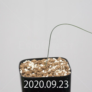 ドリミア イントリカータ ES21689 実生 21230